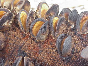 Serotiny - Fire has triggered the opening of the follicles and the release of seed in this Banksia serrata fruiting structure