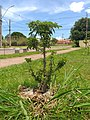Baobá na Praça Central do Setor Habitacional Taquari.jpg