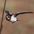 Barn swallow, Hirundo rustica (36874830542).jpg