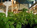 Basilic au marché du Vieux Port.jpg