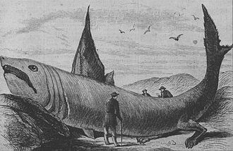 "Basking shark - The ""wonderful fish"" described in Harper's Weekly on 24 October 1868, was likely the remains of a basking shark."