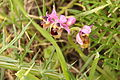 Bee Orchid Alcalar Portugal 22.02.16 (24903099480).jpg