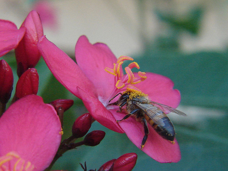 File:Bee and jatropha.jpg