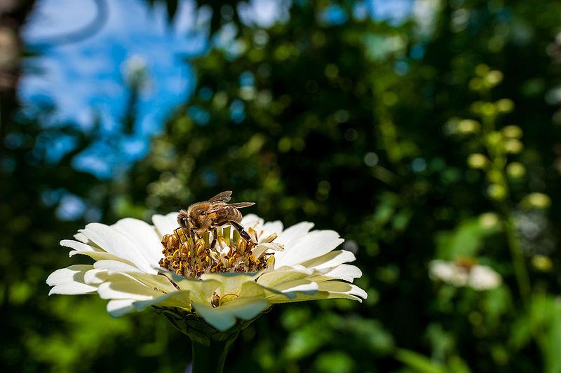 Datei:Bee on a Flower (16841807829).jpg
