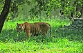 Begal Tiger in Mysore Zoo l Karnataka.jpg
