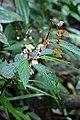 Begonia buddleiifolia (Begoniaceae) (29510200533).jpg