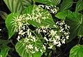 Begonia diptera.jpg