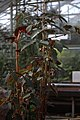 Begonia stipulacea GotBot 2015 001.jpg