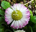 Bellis perennis showing ray florets in the disc florets, North Ayrshire, Scotland.jpg