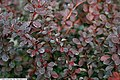 Berberis thunbergii Royal Burgundy 1zz.jpg