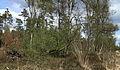 Berk (Betula). Locatie, Kroondomein Het Loo 02.JPG