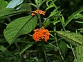 Besleria notabilis (inflorescense).jpg