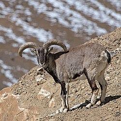 Bharal - Shreeram M V - Kibber, Spiti Valley, Himachal Pradesh, India.jpg