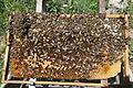 Bienen auf Wabe 2.jpg