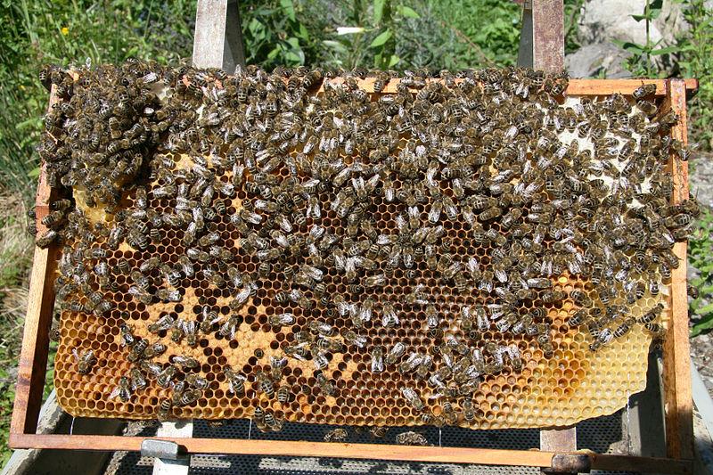 File:Bienen auf Wabe 2.jpg