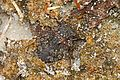 Big-eyed Toad Bug - Gelastocoris oculatus, Babcock-Webb Wildlife Management Area, Punta Gorda, Florida.jpg