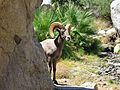 Big Horn Sheep - Flickr - GregTheBusker.jpg