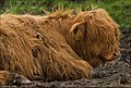 Big Red Hairy Calf (6841016734).jpg