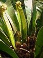 Bird's nest fern - panoramio.jpg