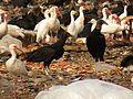 Birds at Celestún Garbage Dump - Flickr - treegrow (1).jpg