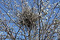 Birds nest, Belfast, April 2010 (02).JPG