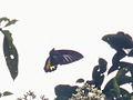 Birdwing (8188553122).jpg