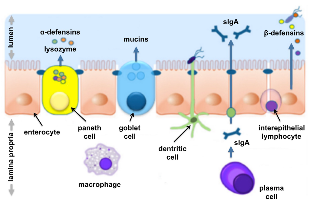 De la permeabilidad a la autoinmunidad