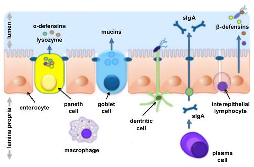 Intestinal mucosal barrier - Wikipedia