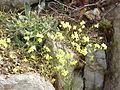 Biscutella laevigata varia1.jpg