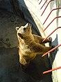 Bitola Zoo Bear.JPG