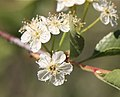 Bitter cherry Prunus emarginata close.jpg