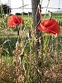 Blüten des Klatschmohn.JPG