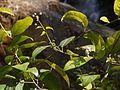 Blachia andamanica subsp. denudata (6782802942).jpg