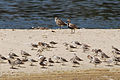 Black-bellied Plovers and sandpipers at Malibu Lagoon.jpg