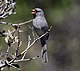 Black-chinned Sparrow (Spizella atrogularis) (16690054929).jpg