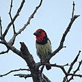 Black-collared Barbet (6556955835).jpg