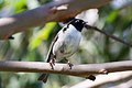 Black-headed Honeyeater (Melithreptus affinis) (8079676435).jpg