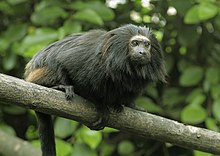 Black Lion Tamarin 4.jpg