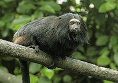mico leão preto wikipédia a enciclopédia livre