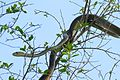 Black Mamba (Dendroaspis polylepis) juvenile (under 2m) on top of a tree ... (30397328144).jpg
