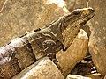 Black Spiny-tailed Iguana (16444375419).jpg