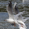 Black headed Gull (3843957706).jpg