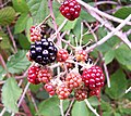 Blackberry fruits05.jpg