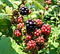Blackberry fruits 2008 G2.jpg