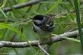 Blackpoll Warbler (male) Sabine Woods TX 2018-04-21 09-53-41 (40164514670).jpg