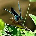 Blauflügel Prachtlibellen vor der Paarung 09.jpg