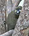 Blaumaulmeerkatze Cercopithecus cephus Tierpark Hellabrunn-7.jpg