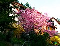 Blooming Trees - panoramio.jpg