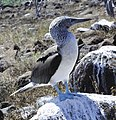 Blue-footed booby (47945187063).jpg