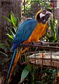 Blue and yellow macaw at dehiwala.jpg